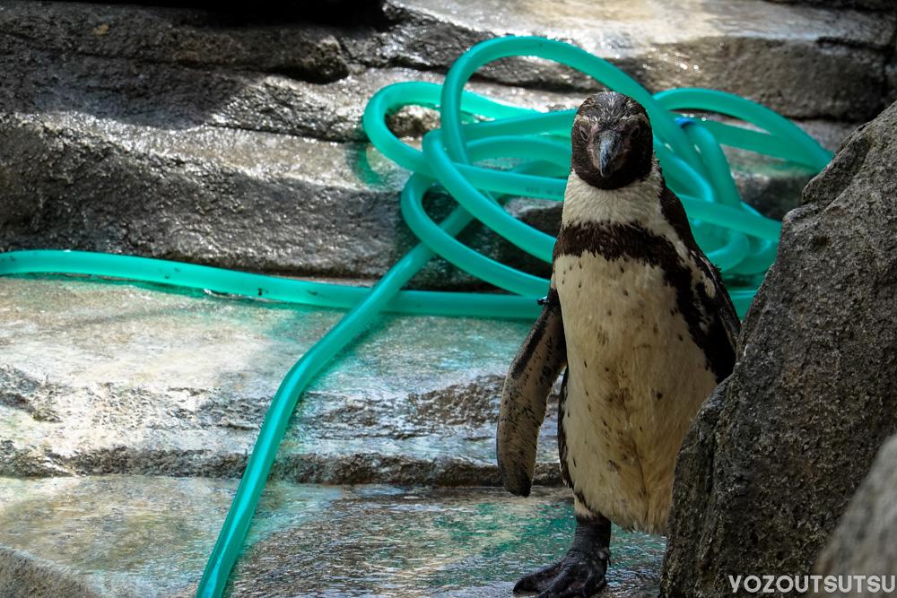 掃除を見守るペンギン