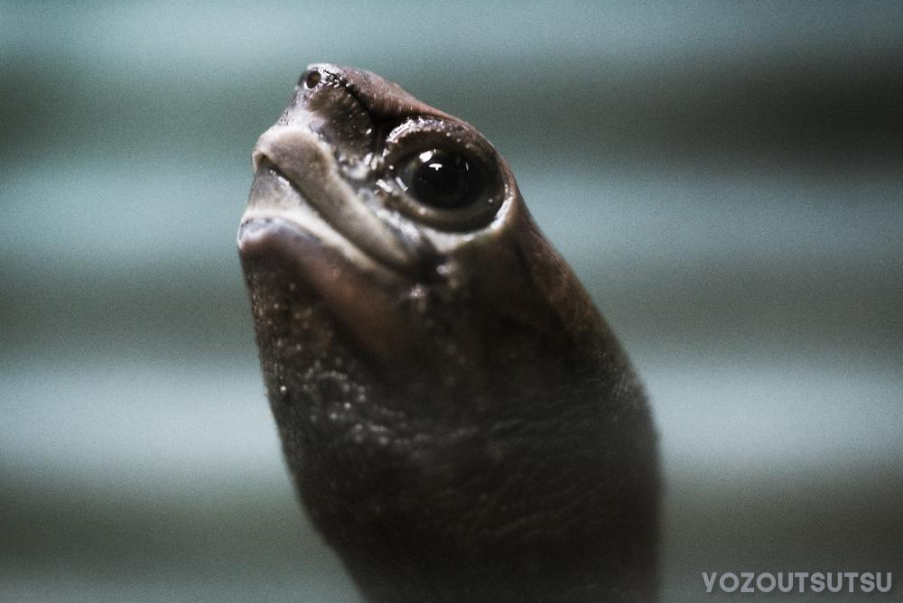 ニホンイシガメの顔面