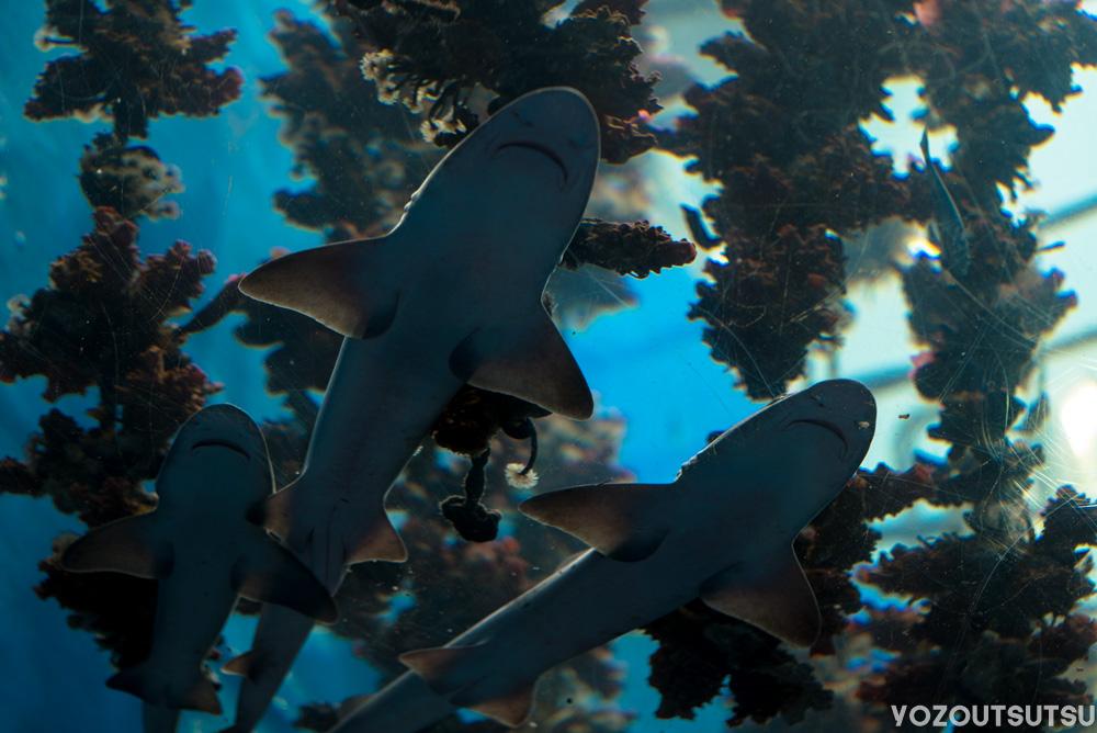 マボヤを簡単には見せてくれないドチザメ
