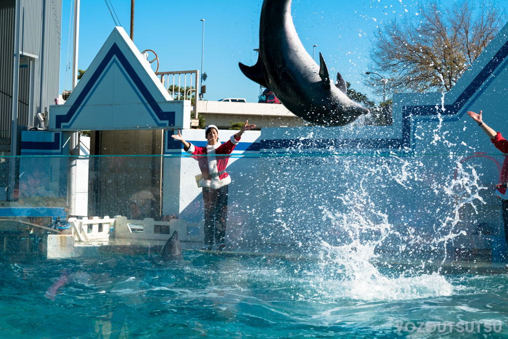 しながわ水族館のイルカショー。宙返りするイルカ