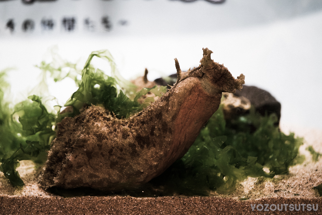 タツナミガイ@しながわ水族館特別展
